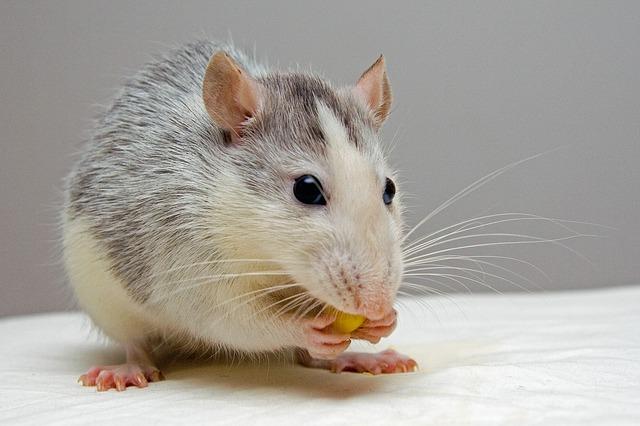 דע את האויב: מה חולדות אוהבות לאכול? כך תלכדו אותן